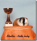 sheltie-b